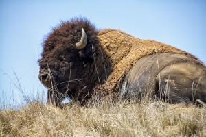 bison-resting